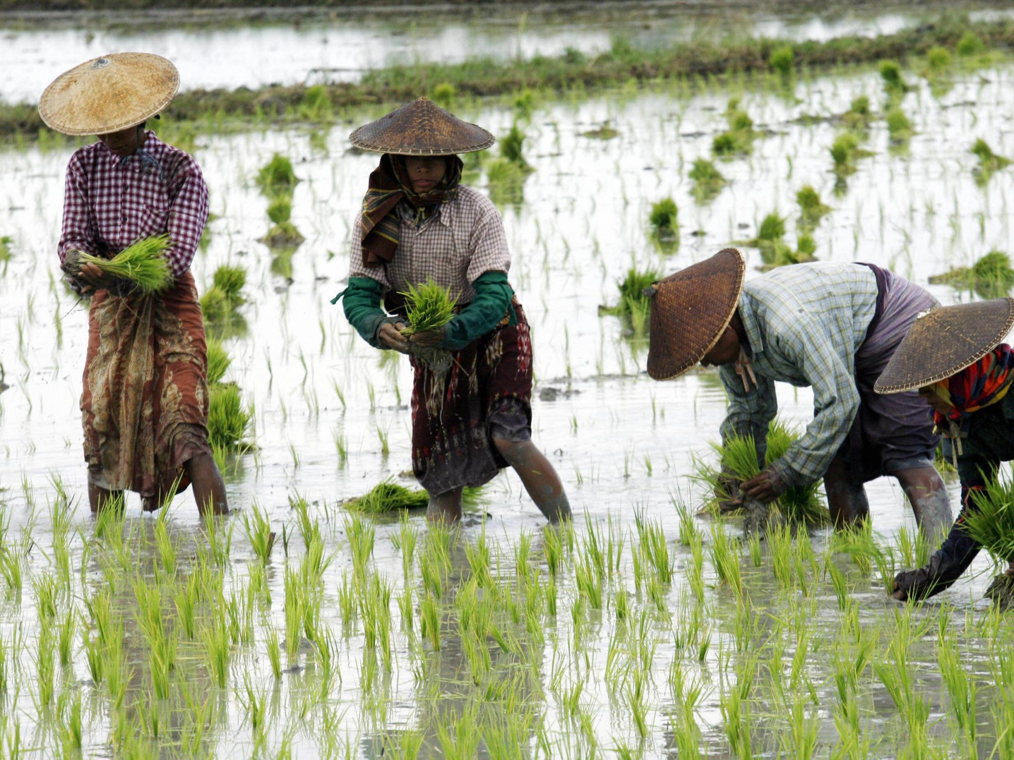 Appeals 30 Farmers Trained On Rice Farming Technology In Kano Agronigeria